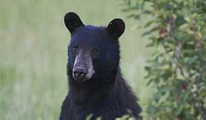 High number of black bear incidents being reported