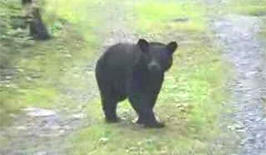 SERM, RCMP looking for bear spotted in Moosomin